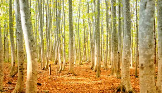 安比高原ブナ二次林の紅葉情報2019。黄金に輝くブナ林のトンネル!見頃、混雑情報も。