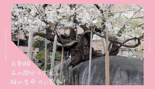 石割桜の桜・お花見情報2019。石の間から生える桜の生命力に感動!