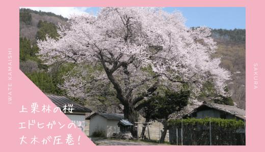 上栗林の桜・お花見情報2020。エドヒガンの大木が圧巻|釜石市