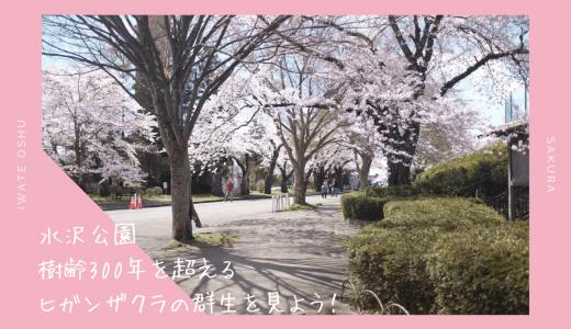水沢公園の桜・お花見情報2020。樹齢300年超のヒガンザクラの群生を見よう|奥州市