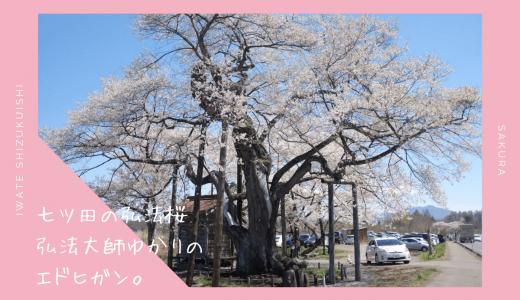 七ツ田の弘法桜・お花見情報2020。弘法大師ゆかりのエドヒガン|雫石町